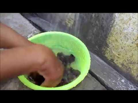 Terbongkar cara baru stek batang petai dijamin 100% tumbuh akar bagi pemula.