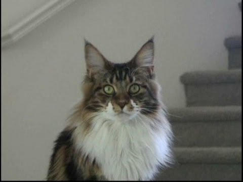 Maine Coon Kitten Tricks - Shaking Hands and beating up the cameraman.