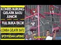 Kontes Gelatik Batu Gelatik Batu Junior Ngerol Tanpa Jeda Full Buka Ekor Eps  Safar Koto  Mp3 - Mp4 Download