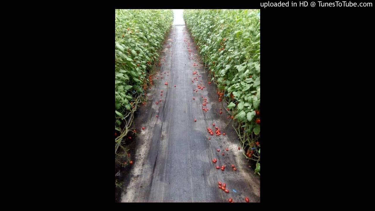 20170619-種植在埔里海拔800公尺的玉女蕃茄裂果嚴重(附圖) - YouTube