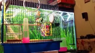 Волнистый попугай играет