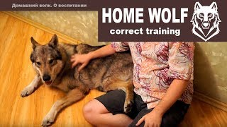 HOME WOLF. Correct training || Домашний волк Макс. О воспитании Макса