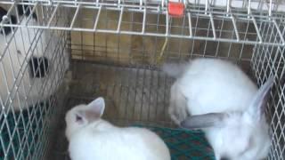 Калифорнийский кролик.Окрол крольчихи. Важно знать. Фильм №8