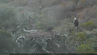 Fraser Point Bald Eagle 07-03-2018 03:09:22 - 04:09:30 thumbnail
