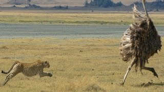Best Ever Big Cats & feral Cats Hunting Video - Must Watch!!!!