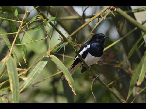 The Oriental Magpie-Robin (Copsychus saularis) singing