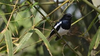 The Oriental Magpie-Robin (Copsychus saularis) singing