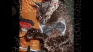 Ангорская Кошка