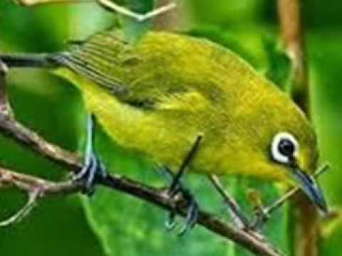 suara burung pleci betina memanggil jantan