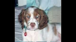 Brittany Spaniel OP