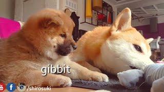Respecc mai spaece - MLIP / Ep 61 / Shiba Inu puppies