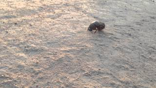 Dung Beetle Rodeo