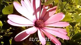 Цветы Остеоспермум, Osteospermum Ecklonis, African Daisy, африканская ромашка, 12/2017