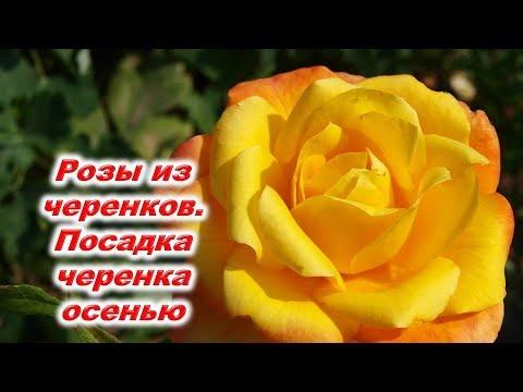 Розы из черенков. Посадка черенка розы осенью под бутылку. Новые удобрения и новинки для укоренения