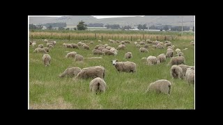 Argentine Farmer Folklore of Parasite-resistant Sheep Now Backed by Science