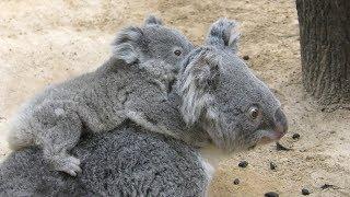コアラ (東山動植物園) 動画内には2組の母子が居ます。恐らく前半がティ...
