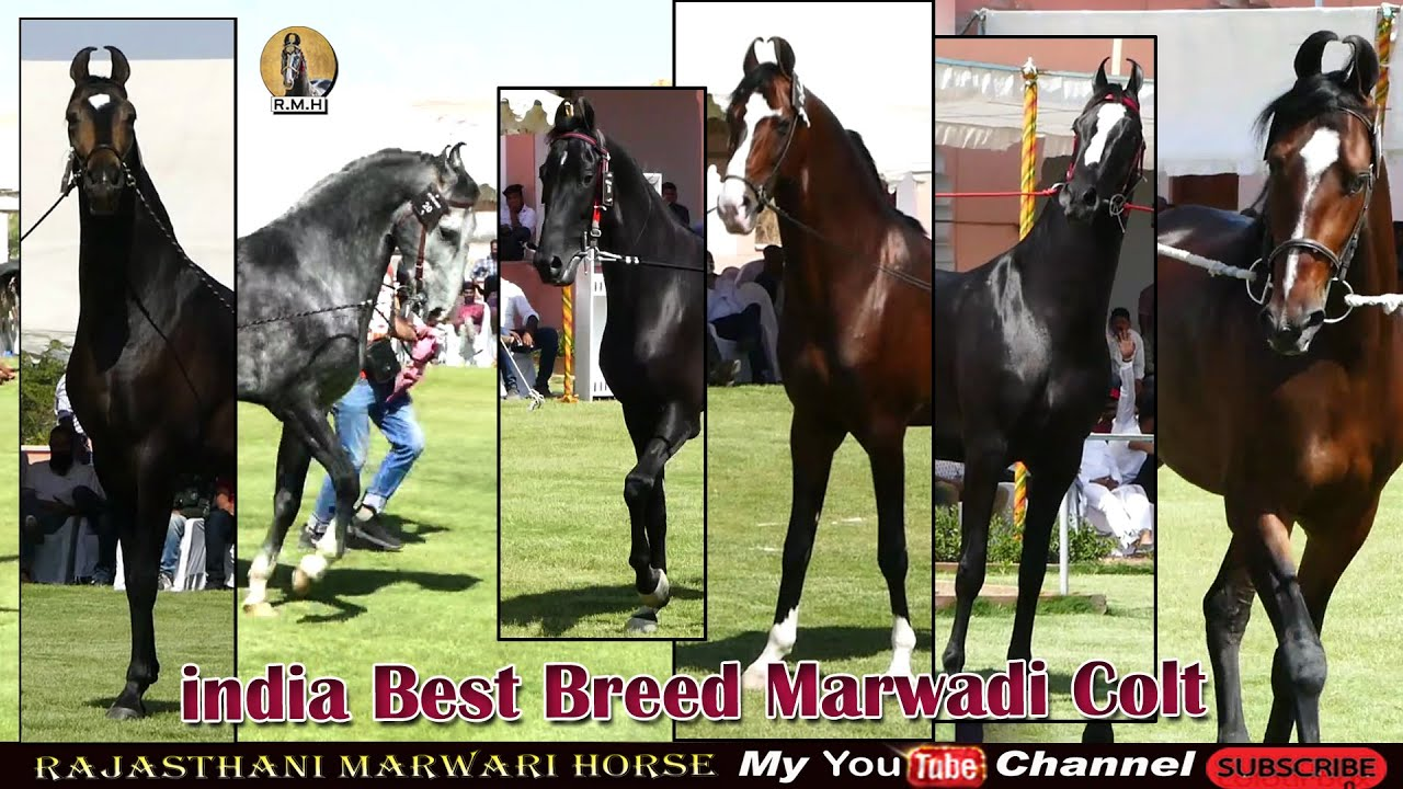 Top 10 Indian horse  breed in Bast  Colt  2021