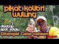 Pikat Kolibri Wulung Kolibri Muncang Ditempel Cabe Cabean  Mp3 - Mp4 Download