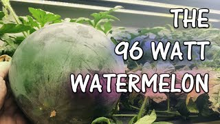 Hydroponic Watermelon - Only 96 Watts of Light!