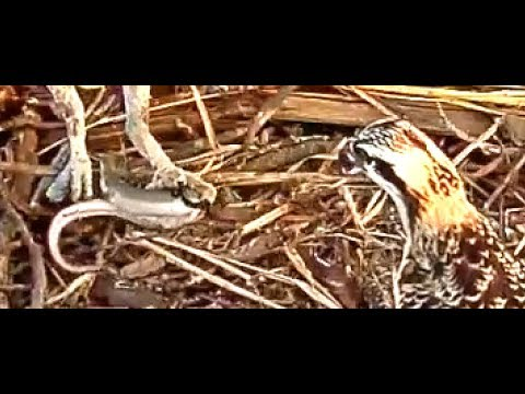Chesapeake Bay Osprey roof top 8 15 17 800pm  Live eel fish   delivery & feeding