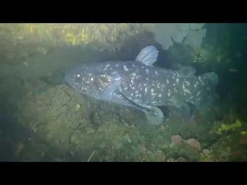 Coelacanth Dive, KZN (South Coast -RSA) - ORIGINAL Footage