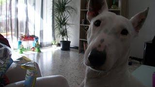 le chien qui attrape plus vite que son ombre - VOLT-