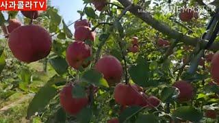 사과 착색 다 나다. …
