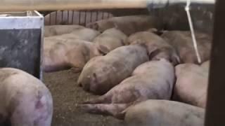 Ошеломляющий успех откорма свиней в свинарнике новой технологии