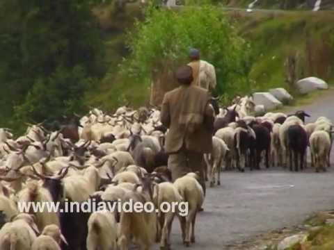 Pashmina goats of Himachal Pradesh