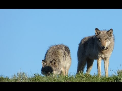 Yellowstone Wolves Close Encounter Panasonic FZ150