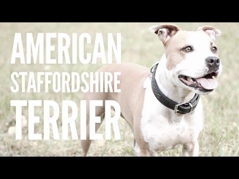 Rasseportrait: American Staffordshire Terrier