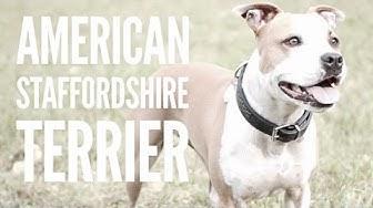 Der American Staffordshire Terrier - Rasseportrait