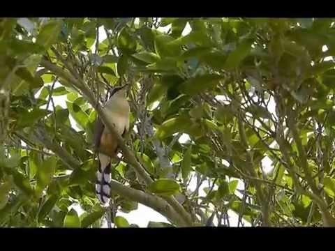 Mangrove Cuckoo, calling