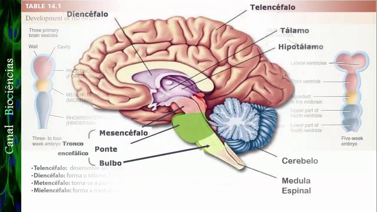 Neurociência Básica - Aula 01 - Função e Organização do Sistema ...