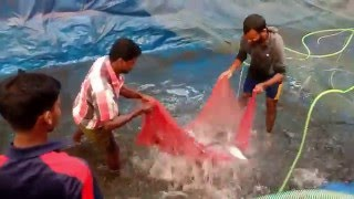 Fish Farm Harvesting | small scale aquaculture | Tilapia , Pangasius