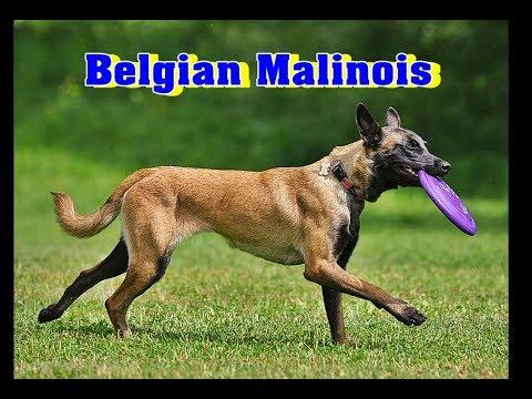 Belgian Malinois | Belgian shepherd |Belgian Sheep Dog | Dog Breed Info