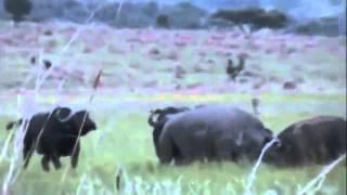 Rhino vs Buffalo. носорог против быка