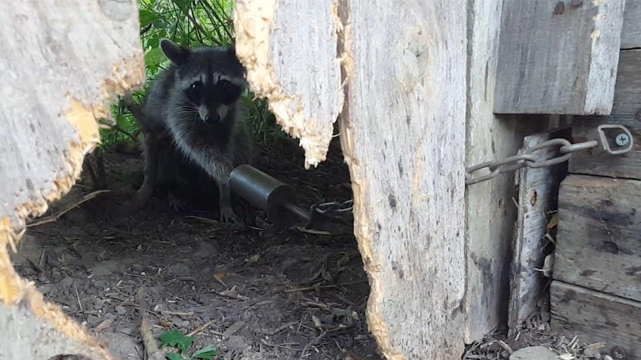 how to release a raccoon from a trap