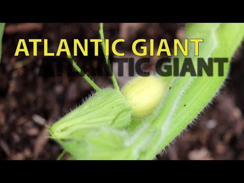Вопрос: Как выращивать гигантские тыквы?