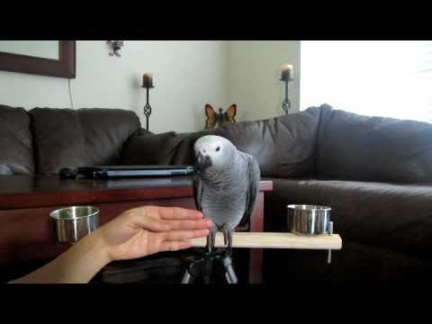 Sept 24, 2012. African Grey Training #1 step up