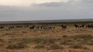 Co robi zebra, gdy chce się podrapać? - Amboseli National Park - Kenia - Afryka