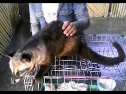 cara menjinakkan musang pandan agar bonding