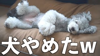 The Cute Dog and the Magical YOGIBO Pillow - Toy Poodle Becomes too Lazy to Move - Super KAWAII 🐶