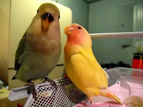 Baby Lovebirds Having a Chat