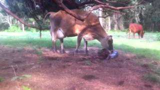 BIG FARM NEWS: Elsie calved and we caught it on video!