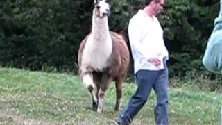 Funny Llama Attack!! thumbnail