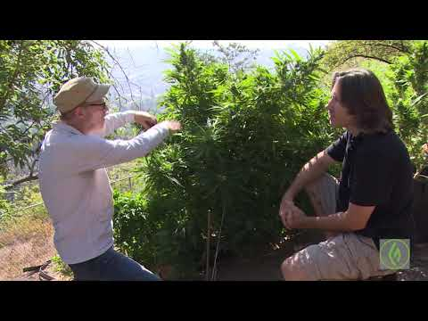 Training Your Cannabis Plants: Expert Techniques / Mel Frank