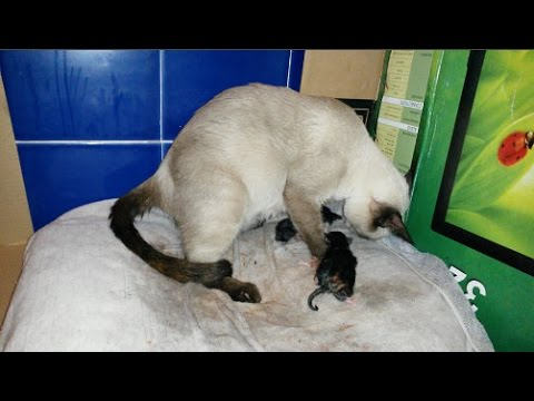 Siamese Cat Gives Birth to 6 Adorable Kittens