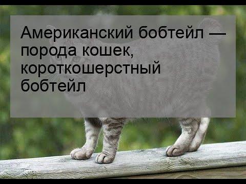 Американский бобтейл — порода кошек, короткошерстный бобтейл