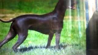 Всё о породе ксолоинскуинтли(мексиканская голая) собака